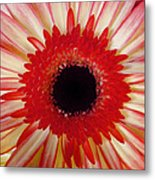 Red  Macro Daisy  Metal Print