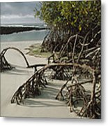 Red Mangrove Root Galapagos Islands Metal Print
