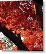 Red Maple 02 Metal Print