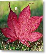 Red Maple Leaf And Dew Metal Print