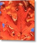 Peak Color Maple Leaves Metal Print