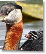 Red-necked Grebe And Chick Metal Print