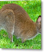 Red Necked Wallaby Metal Print