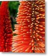 Red-orange Flower Of Eremurus Ruiter-hybride Metal Print