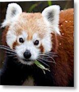 Red Panda  Ailurus Fulgens Eating Metal Print