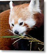 Red Panda  Ailurus Fulgens In Captivity Metal Print