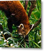 Red Panda Tree Climb Metal Print