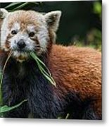 Red Panda With An Attitude Metal Print