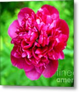 Red Peony Flower Metal Print by Edward Fielding