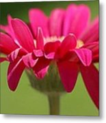 Red Pink Daisy Metal Print