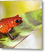 Red Poison Frog Metal Print