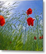 Red Poppies And Blue Sky Metal Print
