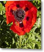 Red Poppy And Bee Metal Print