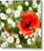 Red Poppy With Daisies On Flower Meadow Metal Print