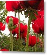 Red Poppy's Metal Print