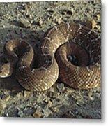 Red Rattlesnake Baja California Mexico Metal Print
