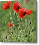 Red Red Poppies 2 Metal Print