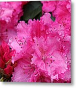 Red Rhododendrons Metal Print