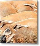 Red River Hogs Potamochoerus Porcus Metal Print