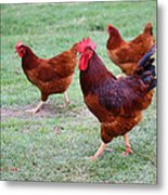 Red Rooster And Hens Metal Print