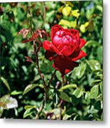 Red Rose. Metal Print