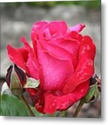 Red Rose And Dewtrops Metal Print