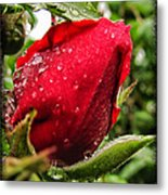 Red Rose Bud With Water Drops Metal Print
