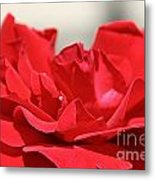 Red Rose Red Rose Metal Print