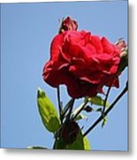 Red Roses With Blue Sky Background Metal Print