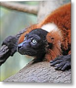 Red-ruffed Lemur Metal Print