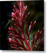 Red Selaginella Metal Print