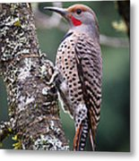 Red Shafted Flicker Vi Metal Print