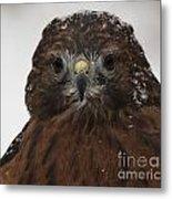 Red Shouldered Hawk Close Up Metal Print