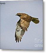 Red-shouldered Hawk Flyby Metal Print