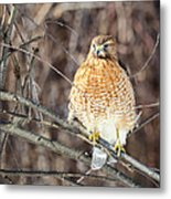 Red-shouldered Hawk Front View Square Metal Print