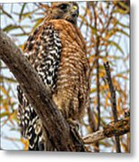 Red-shouldered Hawk In A Willow Tree Metal Print