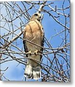 Red Shouldered Hawk In Tree Metal Print