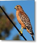 Red-shouldered Hawk On A Wire Metal Print