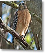 Red-shouldered Hawk On Branch Metal Print