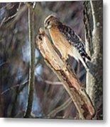 Red Shouldered Hawk Portrait Metal Print