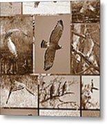 Red-shouldered Hawk Poster - Sepia Metal Print