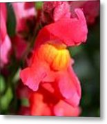 Red Snapdragons IIi Metal Print by Aya Murrells