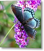 Red Spotted Purple Butterfly On Butterfly Bush Metal Print