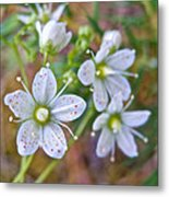 Red-spotted Saxifrage Along Horseshoe Lake Trail In Denali Np-ak  Metal Print