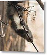 Red Squirrel - Balance Metal Print