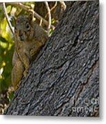 Red Squirrel   #1733 Metal Print