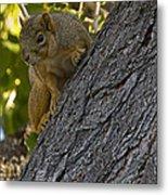 Red Squirrel    #1736 Metal Print