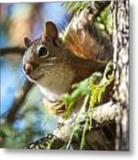 Red Squirrel In The Sun Metal Print