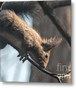 Red Squirrel Licking Dew Droplets  Metal Print