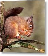 Red Squirrel Perched Portrait Metal Print